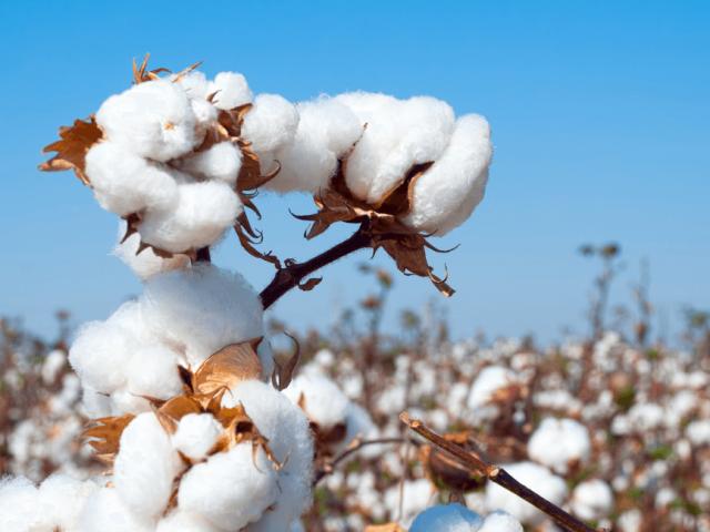 Cotone biologico Vs cotone tradizionale: quale scegliere